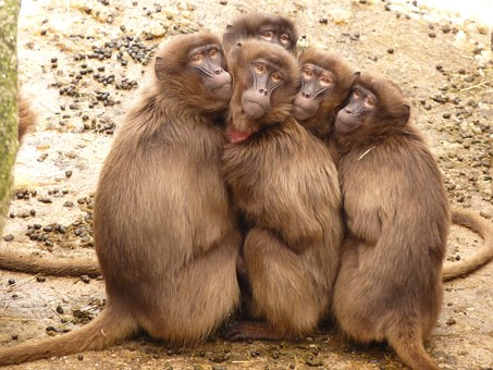 picture of a group of baboons